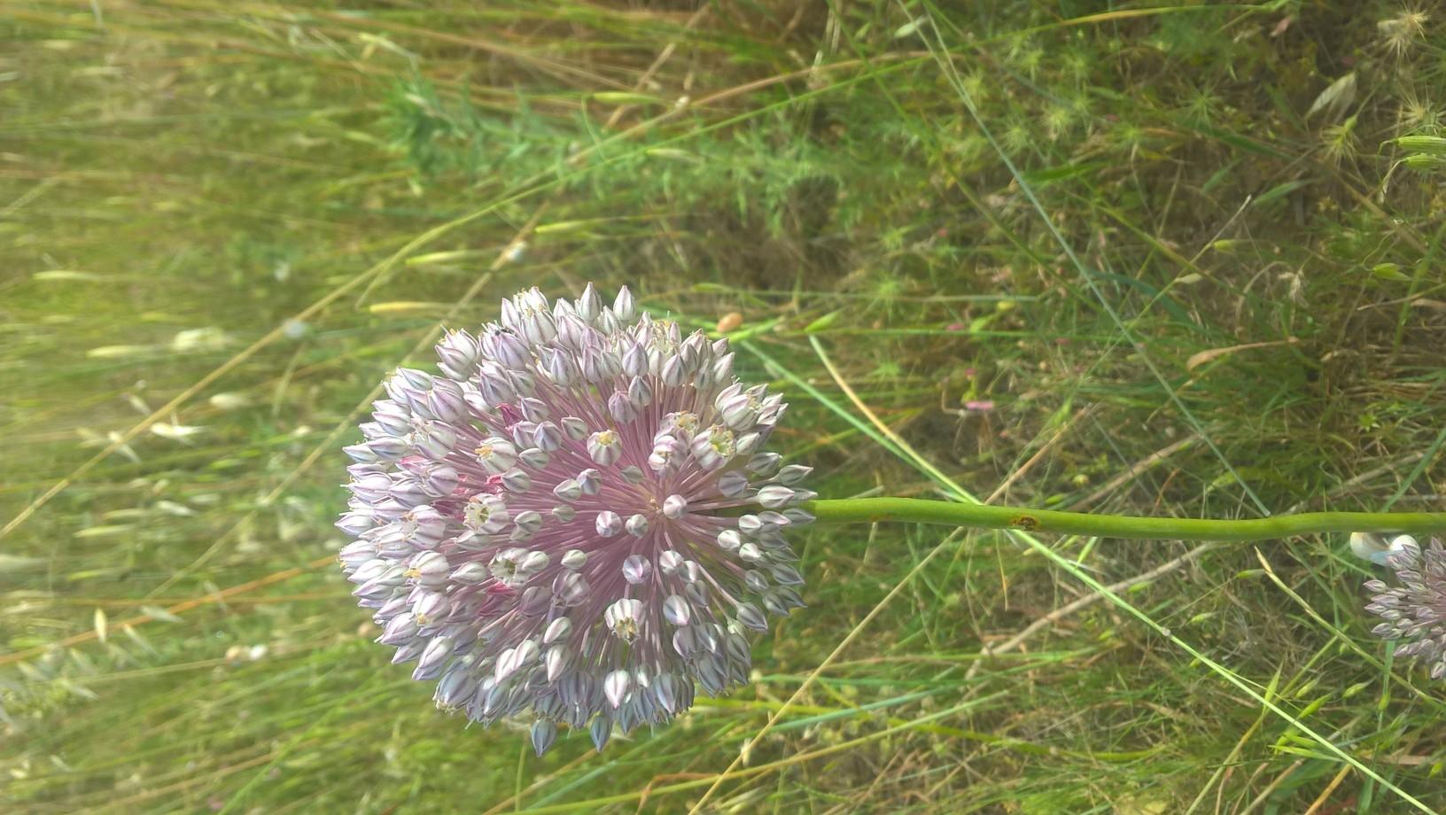 Allium ampheloplasum
