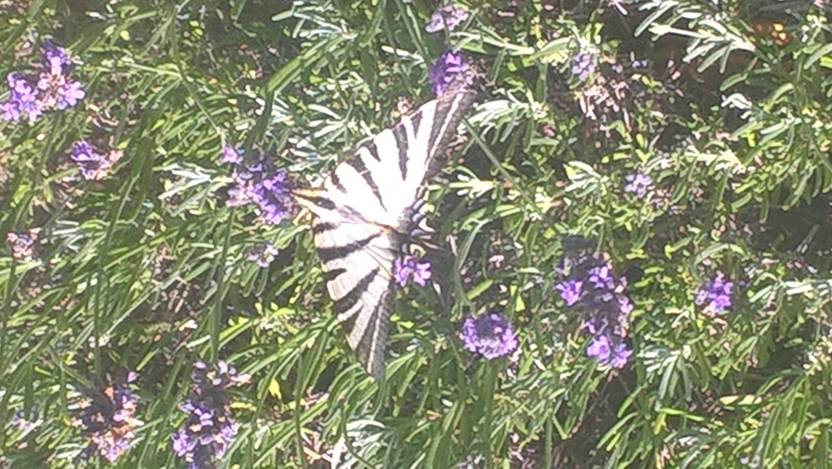 papillon Iphielides podalirius (falmbé) sur lavande